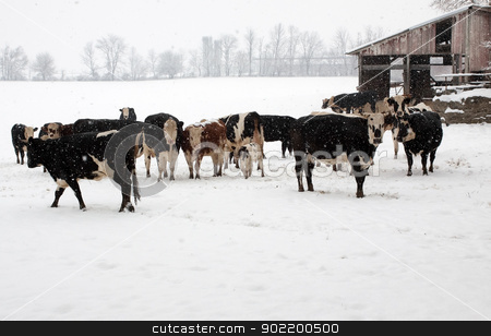 Cattle on a Snowy Day. stock photo, Beef cattle out in a pasture on a snowy day in Lancaster County,Pennsylvania,USA.   by Delmas Lehman