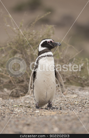 magellanic penguin stock photo, magellanic penguin standing in punta tombo, patagonia, argentina by faabi