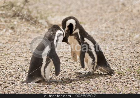 two magellanic penguin playing stock photo, two magellanic penguin playing in punta tombo, patagonia, argentina by faabi