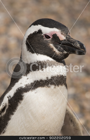 portrait of a magellanic penguin stock photo, portrait of a magellanic penguin in punta tombo, patagonia, argentina  by faabi