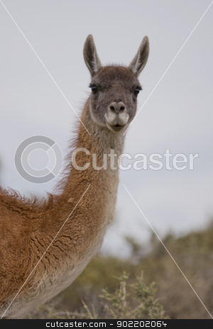 portrait of a guanaco stock photo, portrait of a young guanaco in punta tombo by faabi