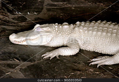 Alligator Albino stock photo, Alligator Albino by Liane Harrold