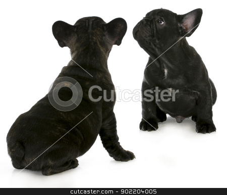 two french bulldogs stock photo, two french bulldog puppies looking up isolated on white background by John McAllister
