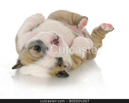 newborn puppy stock photo, newborn puppy - english bulldog puppy - 3 weeks old by John McAllister