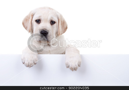 Isolated Puppy Above Banner stock photo, 6 weeks old Labrador retriever puppy dog over white sign for your text, isolated on white by Stephanie Zieber
