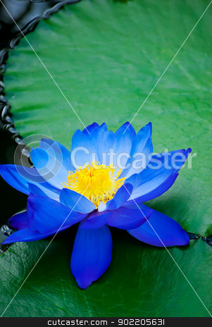 water lily stock photo, beautiful blue water lily in Kew Gardens London by Desislava Dimitrova