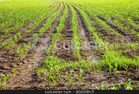 Young corn stock photo, Field of green corn in spring season by Perseomedusa