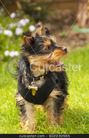 yorkshire terrier stock photo, playful yorkshire terrier puppy outside on grass by sijohnsen