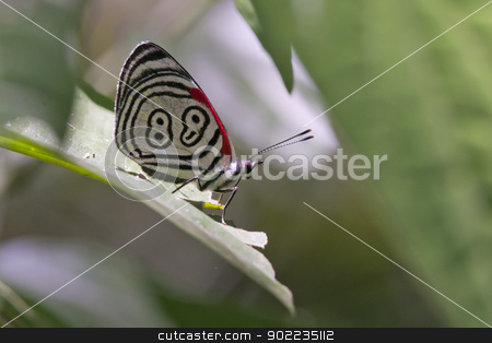 Butterfly 88 stock photo, butterfly  diaethria also called 88, in the Iguazu National Park between Argentina and Brazil by faabi