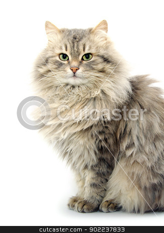 cat  stock photo, cat  isolated on a white background by Vitaliy Pakhnyushchyy