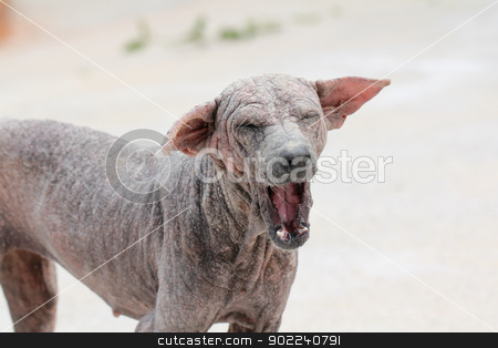 Thai dog sarcoptic mange stock photo, Thai dog skin disease sarcoptic mange with a mouth wide open by Suphatthra China