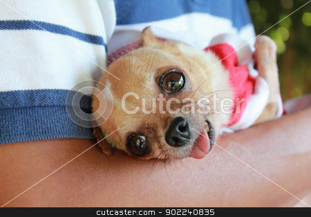 Man holding chihuahua stock photo, Man holding his chihuahua by Suphatthra China