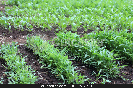 Row of vegetable stock photo, Row of green vegetable in farm ,Laos by Suphatthra China