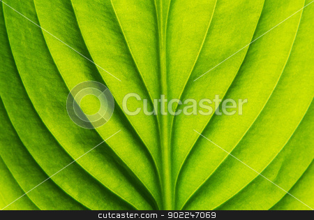 green leaf  stock photo, Texture of a green leaf as background by Vitaliy Pakhnyushchyy