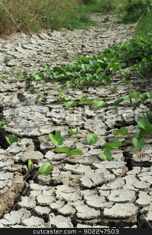 Dry and cracked ground stock photo, Morning glory growing on dry and cracked ground by Suphatthra China