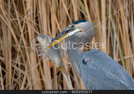 Great Blue Heron (Ardea herodias) stock photo, Adult great blue heron with large fish against a background of reeds. by Glenn Price