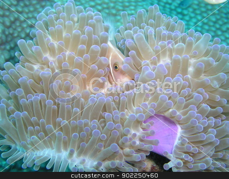 Pink Anemone Fish stock photo, Pink Anemone Fish in Tao          by otohime