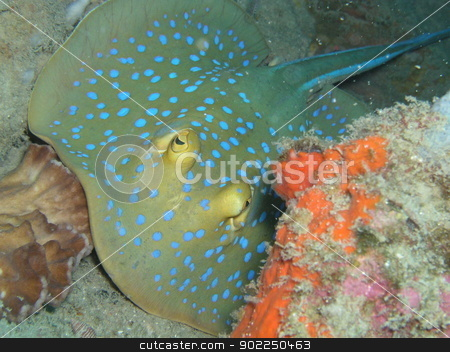 Bluespotted ribbontail ray stock photo, Blue spotted ribbontail in Tao          by otohime