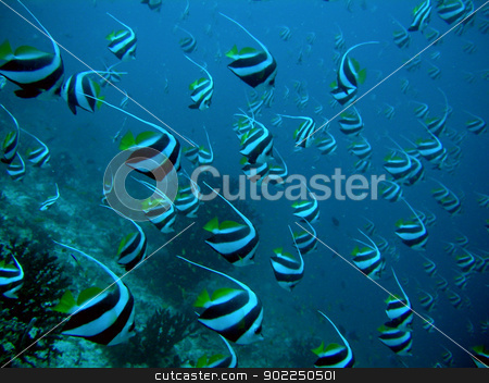 School of Longfin Bannerfish stock photo, School of Longfin Bannerfish in Maldives   by otohime
