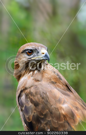 Eagle stock photo, Eagle Is Looking Fixedly Over His Shoulder by Sergej Razvodovskij