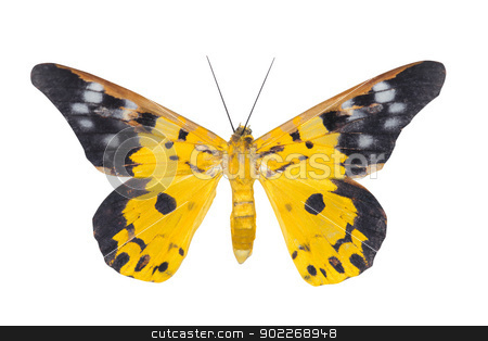 Day moth butterfly stock photo, Day moth butterfly ( Eterusia repleta) isolated on white background by szefei