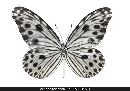 Butterfly (Idea lynceus)  stock photo, Butterfly (Idea lynceus) isolated on white background by szefei