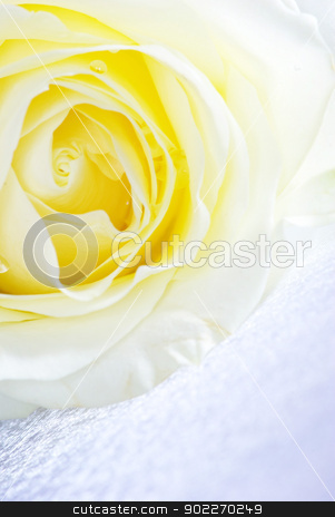 rose stock photo, A white rose is isolated on a silver background by Vitaliy Pakhnyushchyy