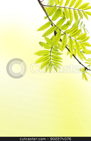 Spring background with ash tree branch stock photo, Spring background with ash tree branch by Juliet Photography