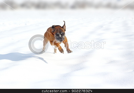happy dog in snow stock photo, happy boxer breed running in the field in a winter day by coroiu octavian