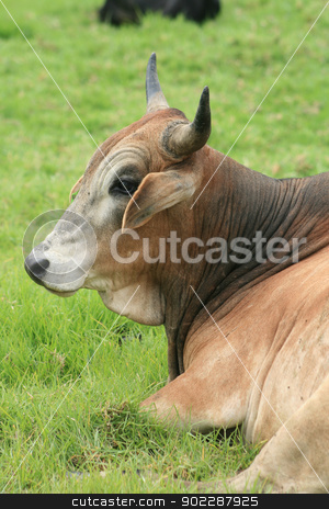 Head of a Brown Bull stock photo, A large brown bull lying in a field of grass on a farm in Cotacachi, Ecuador by Robert Hamm