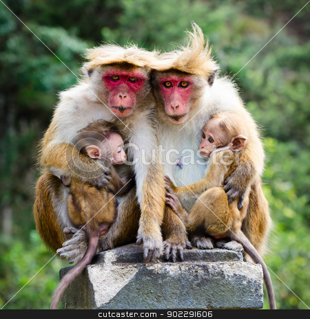 Monkey family stock photo, Monkey family with two babies. Red faces macaque (Macaca fuscata). by Iryna Rasko