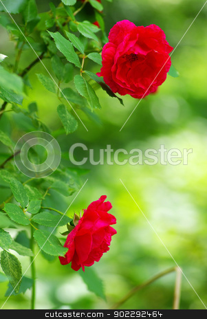 rose  stock photo, a close-up of a red rose  by Vitaliy Pakhnyushchyy