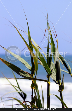 Reed Beach stock photo, Green reeds with the beach and ocean in the background. by Henrik Lehnerer