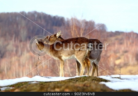 doe with her baby stock photo, fallow deer doe ( dama dama ) taking care of her young by coroiu octavian