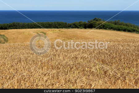 Cornfield by blue sea stock photo, Scenic view of golden cornfield in countryside with blue sea in background. by Martin Crowdy