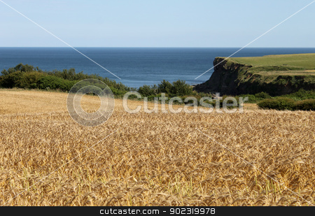 Cornfield by sea stock photo, Scenic view of golden cornfield with blue sea in background. by Martin Crowdy
