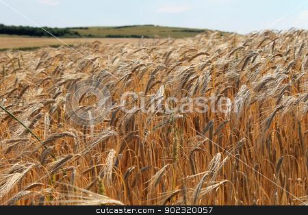 Cornfield stock photo, Scenic view of ripe cornfield in countryside, England by Martin Crowdy