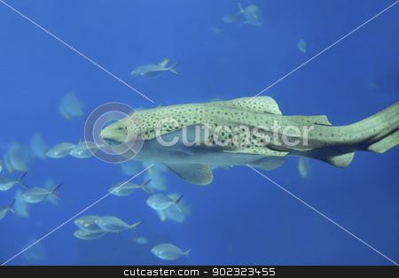 Zebra shark stock photo, Zebra shark swimming in blue water at Phi Phi, Thailand by Kjersti Jorgensen