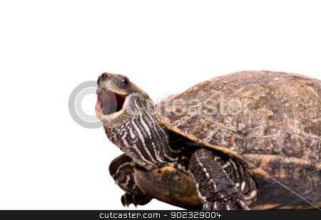 Turtle with open mouth isolated on white background stock photo, Turtle with open mouth isolated on white background by vaeenma