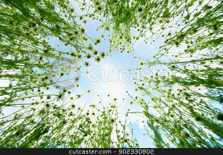 Sky view from chamomile stock photo, View of the sky from the bush of chamomile by Alexey Romanov