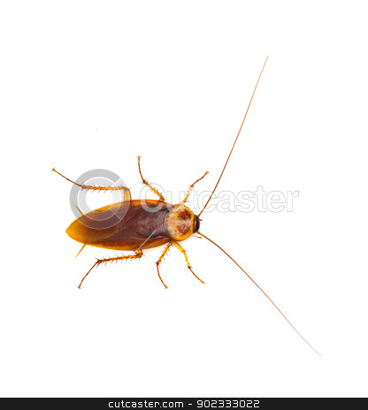 Cockroach isolated on white background stock photo, Cockroach isolated on white background by vaeenma