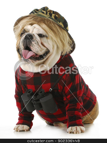 hunting dog stock photo, hunting dog - english bulldog wearing binoculars and hunting clothes isolated on white background by John McAllister