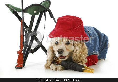hunting dog stock photo, hunting dog - american cocker spaniel dressed up like a hunting dog isolated on white background by John McAllister