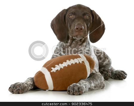 cute puppy stock photo, cute puppy- german short haired pointer puppy with stuffed football isolated on white background by John McAllister