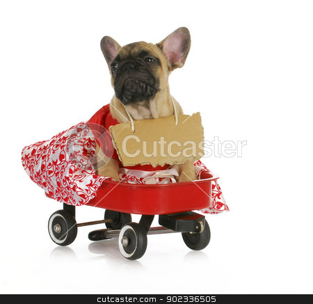 female bulldog stock photo, female french bulldog with a riding in a wagon isolated on white background by John McAllister