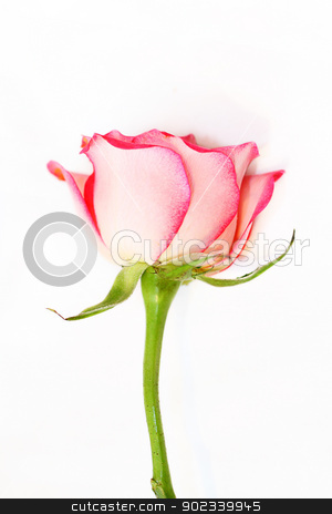 One pink rose on white stock photo, One pink rose on white background by Juliet Photography