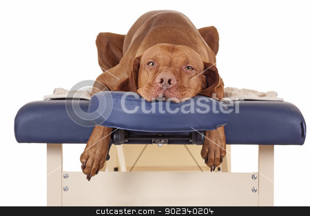 waiting for my massage stock photo, pure breed golden color dog laying relaxed on a massage table isolated on white background by Barna Tanko