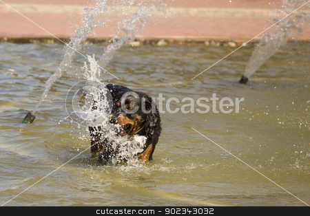 Happy Rottweiler Playing in the Water Fountain stock photo, Happy Rottweiler Playing in the Water Fountain on a Hot Summer Day. by Andy Dean
