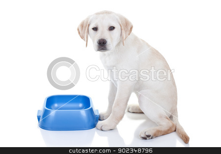 Funny Hungry Dog stock photo, Funny hungry Labrador retriever puppy dog gives attitude and upset expression since no food in bowl - isolated on white background by Stephanie Zieber