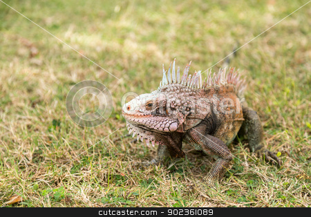 Iguana in grass on St Thomas stock photo, Close up of head of Iguana on lawn grass in island of St Thomas by Steven Heap